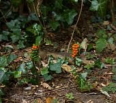 Cuckoo Pint berries
