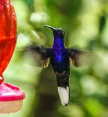Bright blue hummingbird hovering near a feeder in Monteverde Biological Reserve, Costa Rica