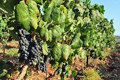 Grape Fruit Grows In A Vineyard