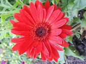 Red Tropical Daisy