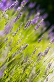 pic of lavender plant  - Green field of fresh lavender  - JPG