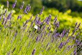 Field Of Fresh Lavender