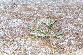 Little Spruce Tree On Snow Meadow