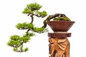 stock photo of bonsai  - Green bonsai pine tree or asian ornamental or decorative plant in brown ceramic pot on wooden stand on white background - JPG