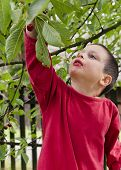 Child Picking And Eating Cherries