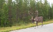foto of deer horn  - Adult deer with horns on the side of the road in Finland on the background of green forest - JPG