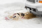 picture of sled-dog  - Harnessed Sled Dog Sleeps Near Truck  - JPG