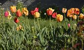 Colorful spring tulips