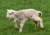 picture of the lost sheep  - Newborn spring lamb - JPG