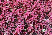 Background Of Plants Of Maroon Coleus In The Garden