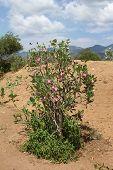 picture of desert-rose  - Desert - JPG