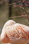 stock photo of pink flamingos  - Picture of the wild Chilean Pink Flamingo - JPG