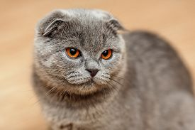 pic of scottish-fold  - Portrait of a scottish fold breed blue cat
