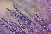 stock photo of lavender field  - Growing lavender flower In a field at sunset  - JPG