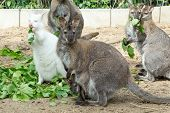 pic of wallabies  - grazzing family of cute Red necked Wallaby kangaroo with baby in bag and with white albino female - JPG