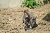 pic of wallabies  - Closeup of a Red - JPG