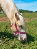 pic of horses eating  - Horse with a red bridle eating grass - JPG