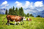 picture of cow  - Cow farm animal in the french alps Abondance race cow savy beaufort sur Doron - JPG