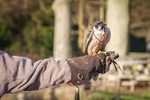 picture of falcon  - hooded peregrine falcon on the arm of a falconry expert - JPG