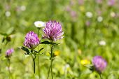 foto of red clover  - Red flower clovers on green background leaf - JPG
