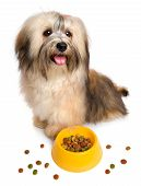 Постер, плакат: Happy Havanese Puppy Is Sitting Next To Her Favorite Dry Food