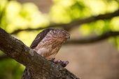 foto of hawks  - A female cooper