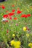 picture of poppy flower  - poppy and wild flower field. red and yellow flowers on a green meadow.