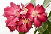 image of desert-rose  - Desert Roses are Thai Flower - JPG