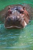 picture of horse face  - Face to face with a hippopotamus cooling off in refreshing green water - JPG