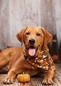 foto of seeing eye dog  - Beautiful Golden Labrador Retriever next to pumpkins - JPG