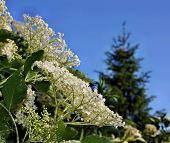 foto of elderberry  - Blooming healthy elderberry on blue sky background  - JPG