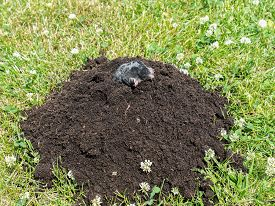 picture of mole  - Mole poking out of mole mound on grass - JPG