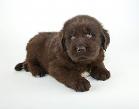 image of newfoundland puppy  - Very sweet five week old Newfoundland puppy laying on a white background - JPG