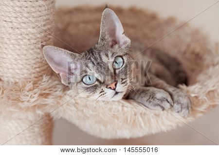 Adorable beautiful Devon Rex cat is chilling on the scratching post. Cat is laying on the hammock. Cat is feeling comfortable and safe being at home. Home pets. Cat Supplies and Equipment picture