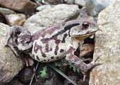Far-Eastern Toad (Bufo Gargarizans) 5