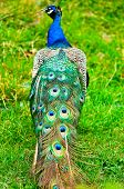 Beautiful And Pride Peacock On A Lawn
