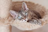 Adorable beautiful Devon Rex cat is chilling on the scratching post. Cat is laying on the hammock. Cat is feeling comfortable and safe being at home. Home pets. Cat Supplies and Equipment t-shirt