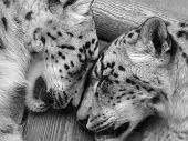 Snow Leopards sleeping
