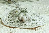 Stingray, Yellow Spotted, Utila, Honduras Manta Ray
