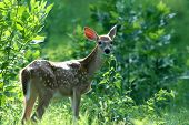 Late Summer Fawn poster