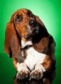 Curious Basset Dog