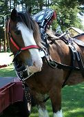 stock photo of clydesdale  - clydesdale horse tacked up - JPG