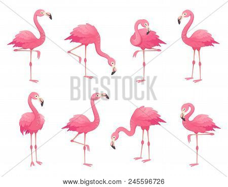 poster of Exotic Pink Flamingos Birds. Flamingo With Rose Feathers Stand On One Leg In Wild African Fauna. Zoo