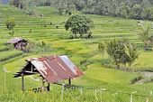 Green Indonesian ricefields