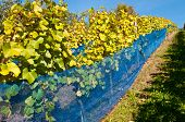 Vineyard With Vines And Blue Net