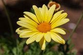Closeup Of A Doronicum Flower In The Oasis Of Huacachina, Ica, Peru poster