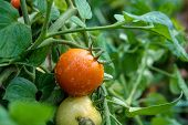 Ripe Tomatoes Growing On The Branches - Cultivated In The Garden.. poster