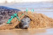 Plastic Marine Pollution. Seal Caught In Tangled Nylon Fishing Net. This Curious Wild Animal Was Att poster