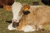 image of hereford  - Young brown and white Hereford calf in a field - JPG