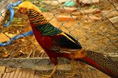 Long-tailed Pheasant